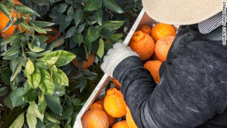 Sumo Citrus mandarins are carefully and meticulously packed.